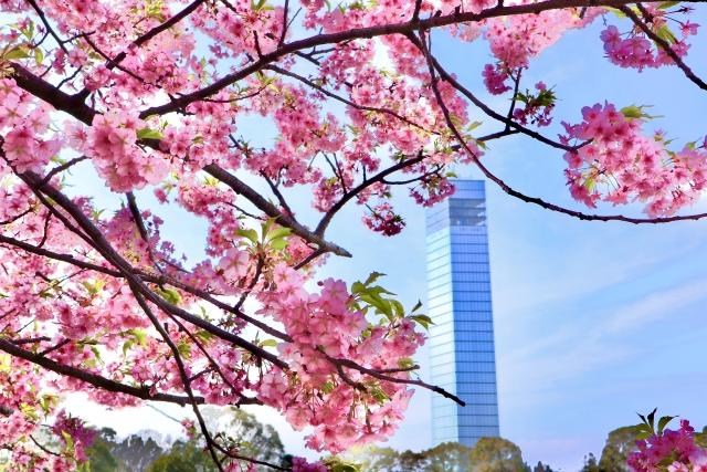 ポートタワーの桜