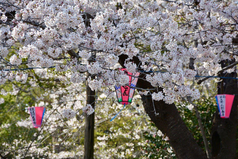 小見川城山公園の桜