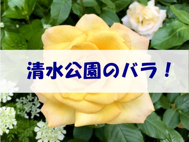 清水公園のバラ